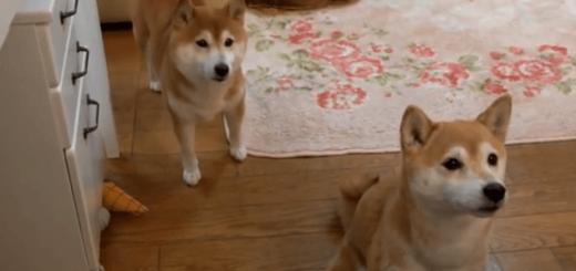 飼い主さんが大好きな柴犬のいちごちゃんが、うるうるした目で飼い主さんにハグ♪