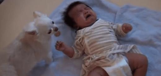赤ちゃんが心配で、自分のおやつをあげちゃうチワワ