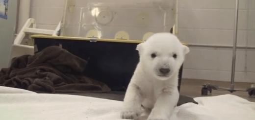 ホッキョクグマの赤ちゃんが始めて歩く動画