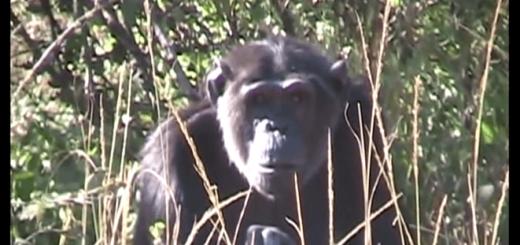 チンパンジーがわが子の死を受け止めるまで