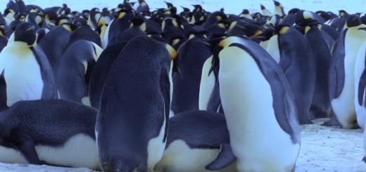 思わず笑っちゃう!滑って転んじゃうペンギン達