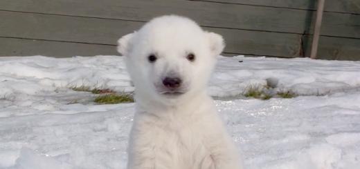 初めて雪をみたシロクマの赤ちゃんの反応がめちゃ可愛い
