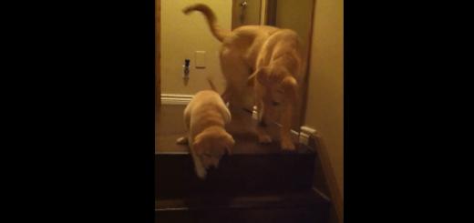 カワイすぎ!お兄ちゃん犬に階段の降り方を教わる子犬