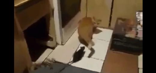猫VS巨大ネズミ