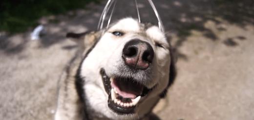 気持ちよすぎてウットリ…頭皮マッサージをされるハスキー犬が超キュート!
