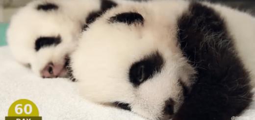 双子の赤ちゃんパンダが産まれてからの100日間の成長記録