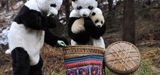 パンダ保護センターによるパンダを自然に帰す時の誘導方法がカワイイ