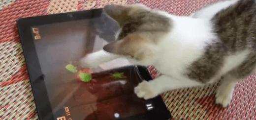 目指せハイスコア!i padゲーム「fruit ninja」を夢中でプレイする猫が超カワイイ