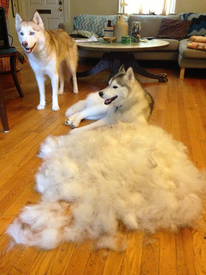 【衝撃】ハスキー犬の抜け毛の量が恐ろしい