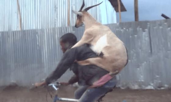 ヤギと二人乗りする男性、抜群の安定感だと話題に