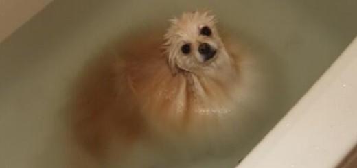 """【完全に一致】入浴中のポメラニアンが""""とろろ昆布""""みたいだと話題に"""