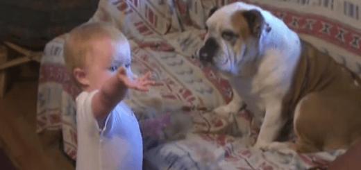 ソファを占領するブルドッグに猛抗議する赤ちゃん