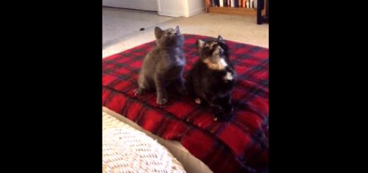 2匹の子猫ちゃんたちによる首ふりダンスがピッタリすぎて激萌え