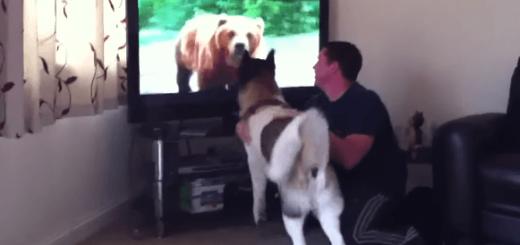 絶対にテレビの中からでてこないクマ VS 絶対に直接戦いたい秋田犬