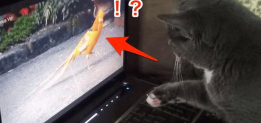 初めてPCをみた猫「あそこにいるのは…鳥?」