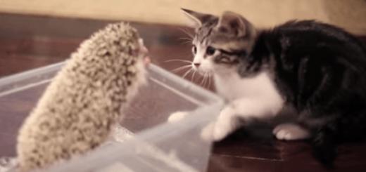 子猫「この動くトゲトゲは一体ニャんだ?」ハリネズミ「…」