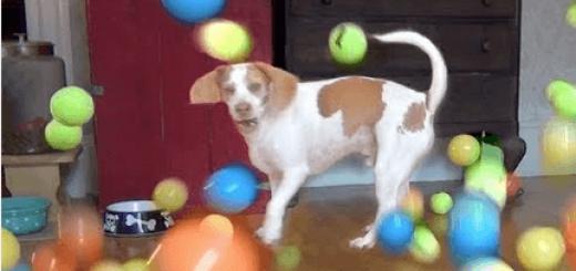 ボール遊びが大好きな犬に100個のボールを投げた時の反応(笑)