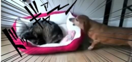 知らんぷりして眠る猫 VS 自分のベッドを取り返したい犬