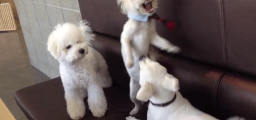 犬同士の激しいケンカを一声で止める犬がまさにヒーロー!