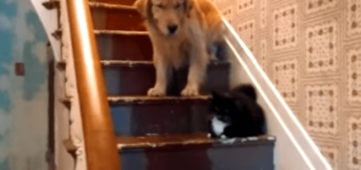 ネコが怖くて階段をおりられないイヌが最後にとった行動
