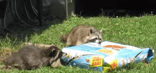 泥棒アライグマ、ネコのエサを袋ごと強奪!!!