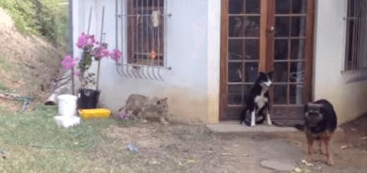 背後に忍び寄る仔ライオン…狙われた犬の運命やいかに!?