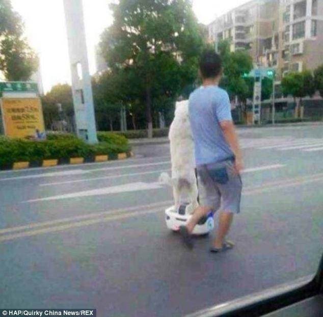 """""""セグウェイ""""を使って犬の散歩をする男性が世界中で話題に!"""