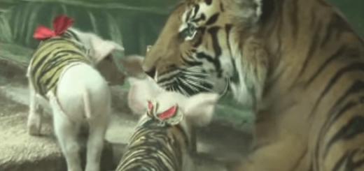 信じられない! トラを育てる母豚とコブタを育てるトラの奇妙な関係