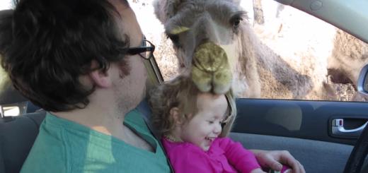 【悲報】ラクダにエサを与えていた幼女、エサと間違ってむしゃむしゃされる