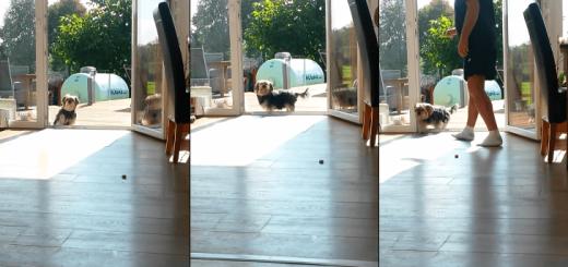 【真面目で正直】ベランダのガラス戸が閉まっていると思い込む犬