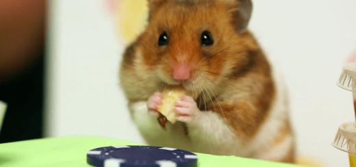 勝者はどっち!? 大食いチャンピオンVSハムスターのホットドッグ一気食い対決