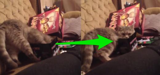 どうしても入りたい!手のひらサイズの箱に入ろうと頑張るネコ
