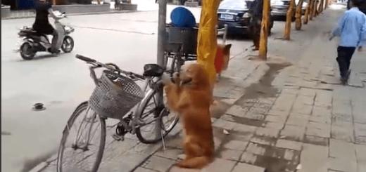 脅威の防犯効果! 自転車を両手でしっかり守る忠犬に感激