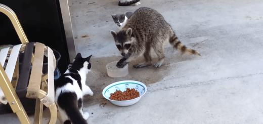 やべぇバレた!猫のエサを盗み食いするアライグマが人間っぽい