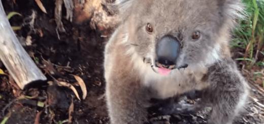 本当に野生?お水をあげたら甘えん坊に変身したコアラ