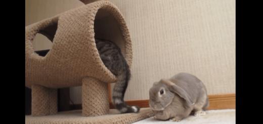 離れればいいのに…静かに激しくバトルをする猫とウサギ