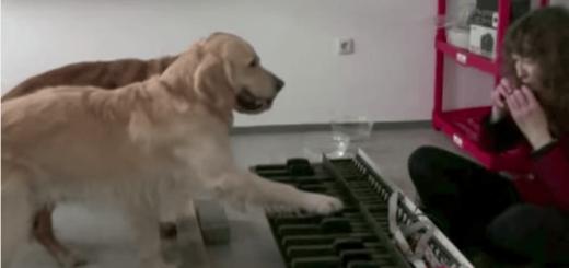犬2匹が一生懸命ピアノで演奏する「猫ふんじゃった」が激萌え