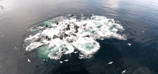 効率的に魚を捕獲! クジラのバブルネットフィーディングが幻想的