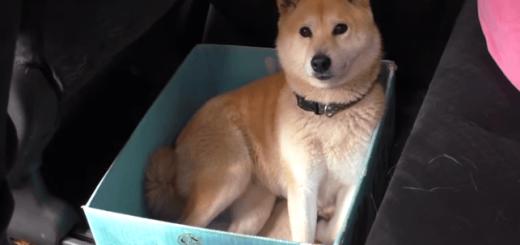 柴犬のお気に入りの箱をどんどん小さくしていったらこうなった