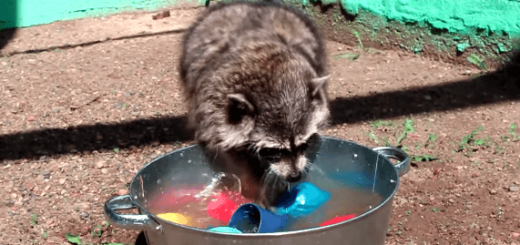 さすがの素早さ! 食器を手洗いしてくれるアライグマ